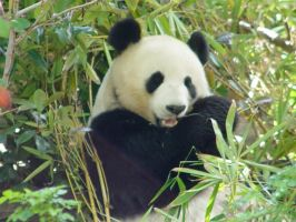 Giant Panda Bear 4 by mellystock