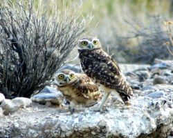 Baby owls by BlackIden
