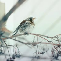 Fieldfare. by Lileinaya