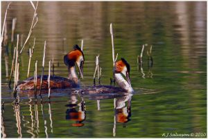 Great Crested Grebes by andy-j-s