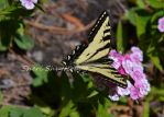 Pale Tiger Swallowtail III by Scooby777