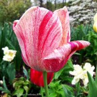 Beautiful Tulip by jim88bro