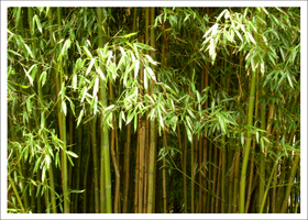 Bamboo by Forbidding