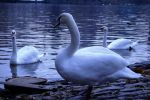 White swans by GloriousBastardo