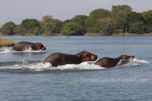 Hippos on the Run by Simbas-pal