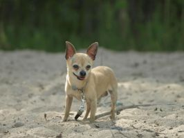 Chihuahua by wakedeadman