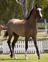 STOCK - TotR Arabians 2013-599 by fillyrox