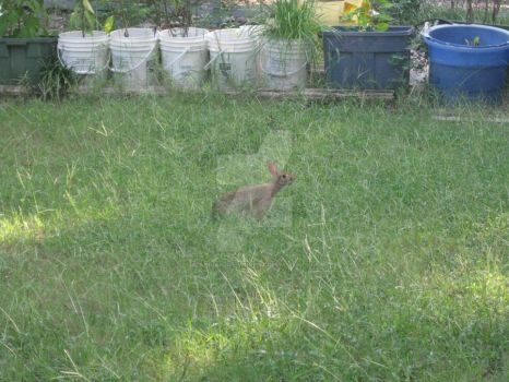 Rabbit in Yard 01 by Guardian-of-Worlds