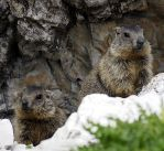 Marmots by Orsoni