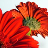 Gerbera Dreams 4 by PeppermintStripe