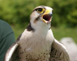 Lanner Falcon by asaph70