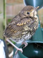 Baby Song Thrush 02 by eldris-stock