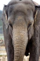Asian Elephant by Sato-photography