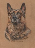 German shepherd Rex by 50dd