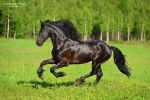 Power of the Friesian horse 3 by Vikarus