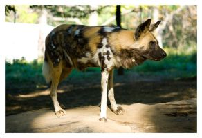 3281 - African Wild Dog by Jay-Co