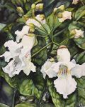 Catalpa Flowers by ebjeebies