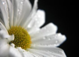 Dreamy daisy 2 by LucieG-Stock