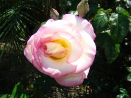 White and Pink Rose XI by EmmaL27