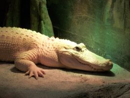 Albino Alligator by Tyuki-san