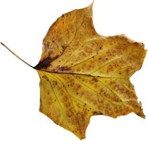 Poplar Leaf PNG 02 by Thy-Darkest-Hour