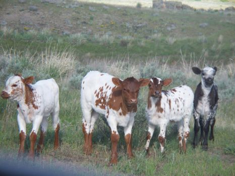 Longhorn Calves Stock by Minotaur-Queen-Stock