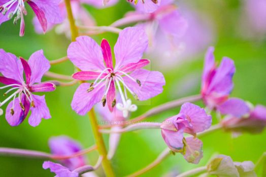 Fireweed by halekae