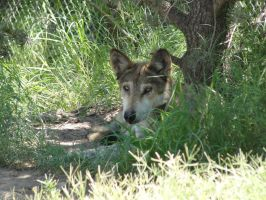 LD August 14: Mexican Wolf 21 by FamilyCanidae