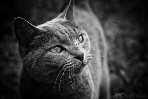 Russian Blue black and white by RainaAstaldo