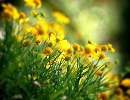 Dazzled by pretty yellow flowers by ahley
