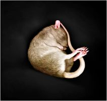 what rats dream of... by fragmented---