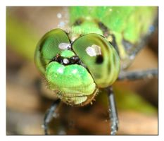 Dragon Fly eyes by microcosmos