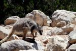 Yellow Foot Rock Wallaby by Violinscry
