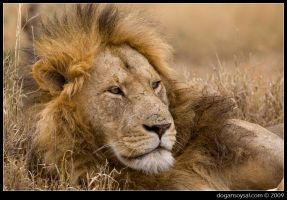 PORTRAIT: LION by dogansoysal
