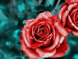 Roses by sallymalene