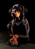 Dobermann by BiggDaddy