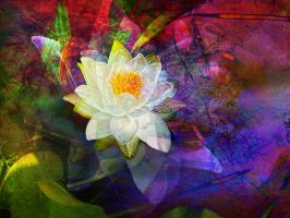 White Waterlily in Pond by Tackon