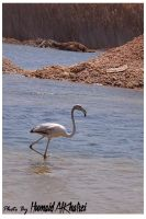 Greater Flamingo by aLdEeb