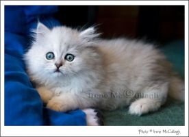 Chinchilla Kitten by substar