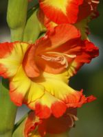 Gladiola Orange Yello by ddoss