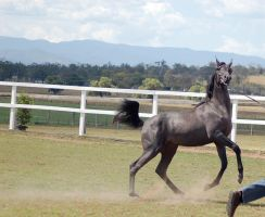 GE Arab filly grey canterleap right side head came by Chunga-Stock