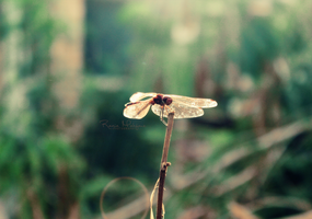 dragonfly by ll-black-star-ll