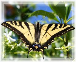 Swallowtail In The Jasmine by Goldey