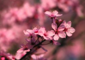 Cherry Blossom by nectar666