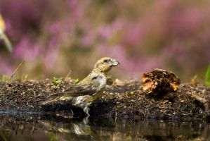 Crossbill by AngelaLouwe