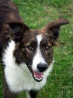 Border Collie 68 by Museik