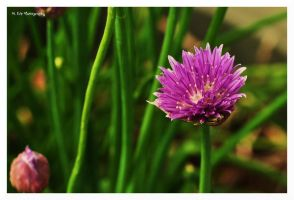 Wild Chives by erbphotography
