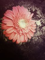 Gerbera Daisy .2 by demeters