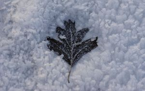 Iced Solitair Leaf by webcruiser
