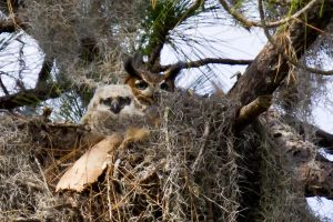 Mother and Owlet Great Horned Owl #2 by King-Dolphin